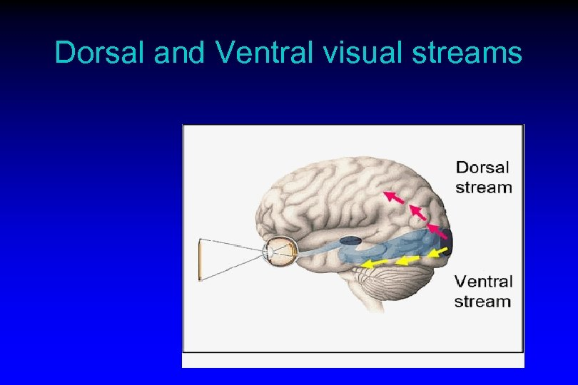 Dorsal and Ventral visual streams