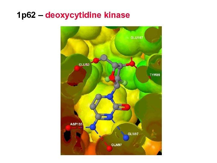 1 p 62 – deoxycytidine kinase