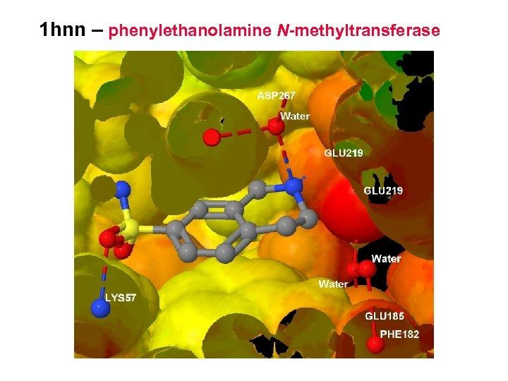 1 hnn – phenylethanolamine N-methyltransferase
