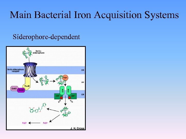 Main Bacterial Iron Acquisition Systems Siderophore-dependent
