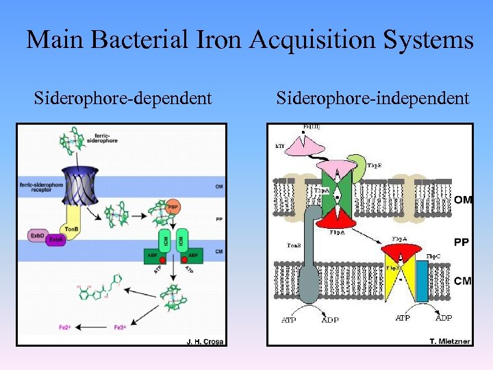 Main Bacterial Iron Acquisition Systems Siderophore-dependent Siderophore-independent