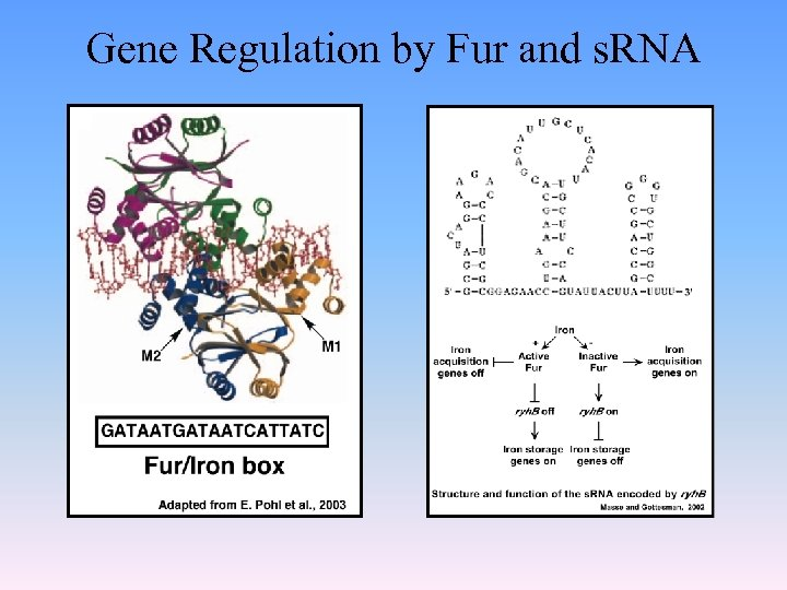 Gene Regulation by Fur and s. RNA