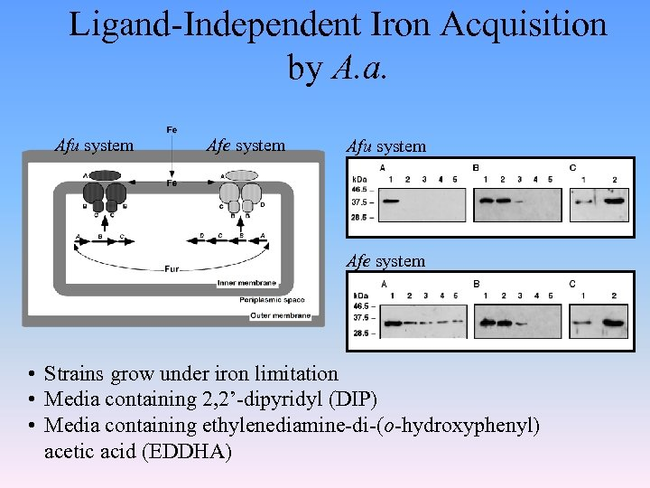 Ligand-Independent Iron Acquisition by A. a. Afu system Afe system • Strains grow under