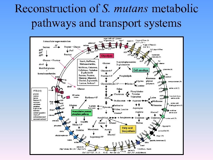 Reconstruction of S. mutans metabolic pathways and transport systems