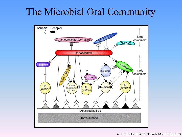 The Microbial Oral Community A. H. Rickard et al. , Trends Microbiol. 2003