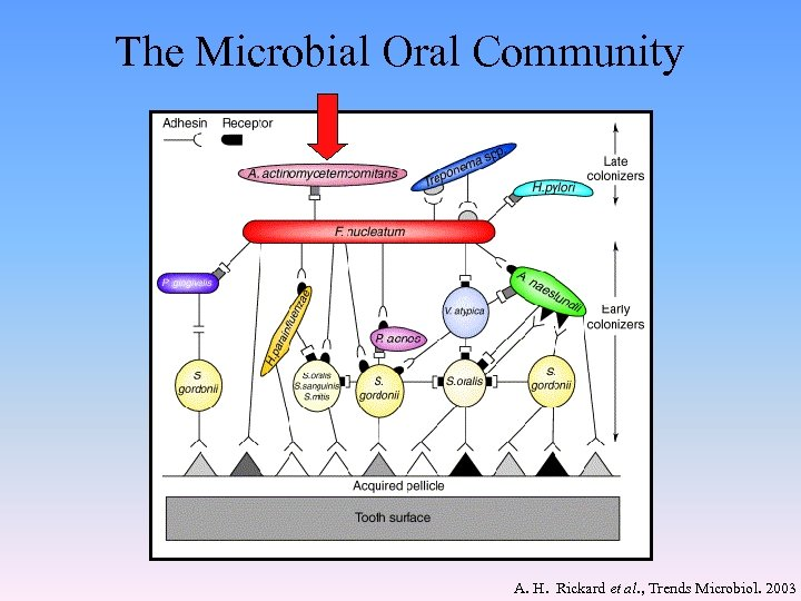 The Microbial Oral Community A. H. Rickard et al. , Trends Microbiol. 2003