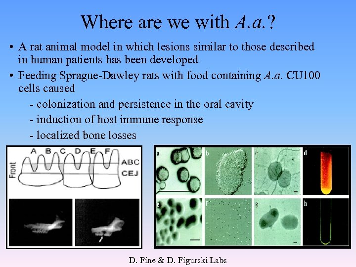 Where are we with A. a. ? • A rat animal model in which