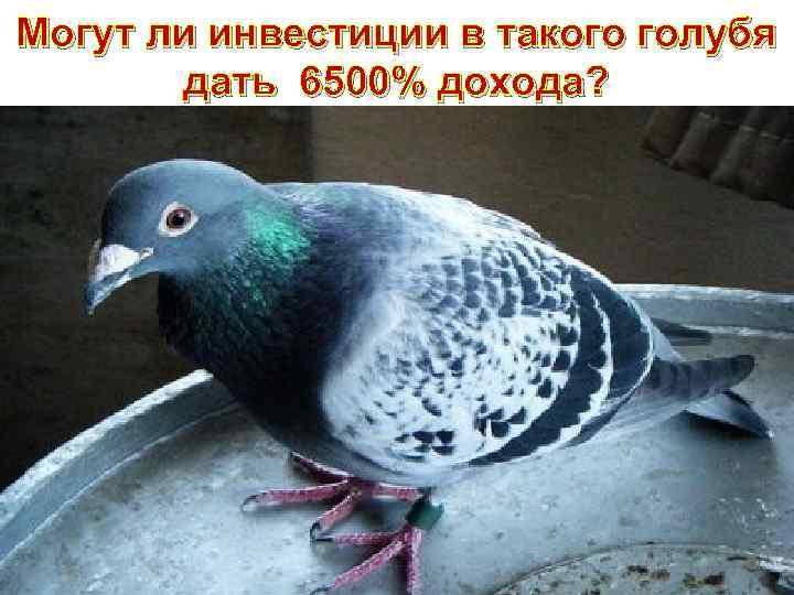 Могут ли инвестиции в такого голубя дать 6500% дохода?