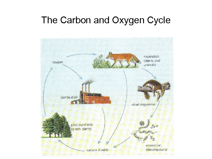 The Carbon and Oxygen Cycle