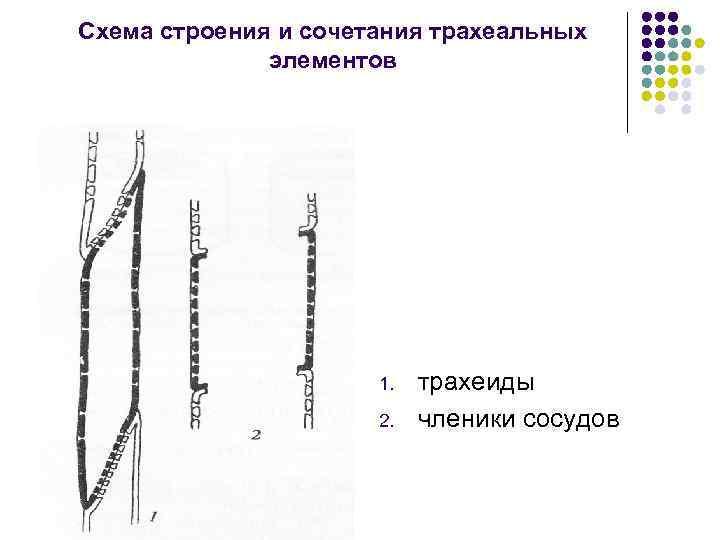 Схема строения и сочетания трахеальных элементов 1. 2. трахеиды членики сосудов