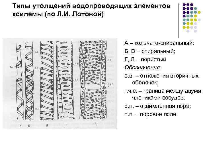 Типы утолщений водопроводящих элементов ксилемы (по Л. И. Лотовой) А – кольчато-спиральный; Б, В