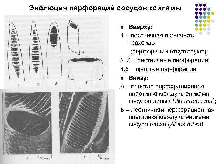 Эволюция перфораций сосудов ксилемы Вверху: 1 – лестничная поровость трахеиды (перфорации отсутствуют); 2, 3
