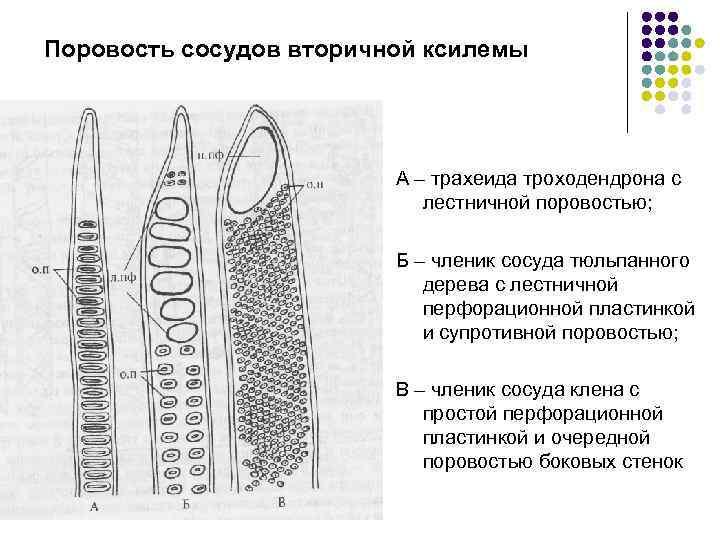 Поровость сосудов вторичной ксилемы А – трахеида троходендрона с лестничной поровостью; Б – членик