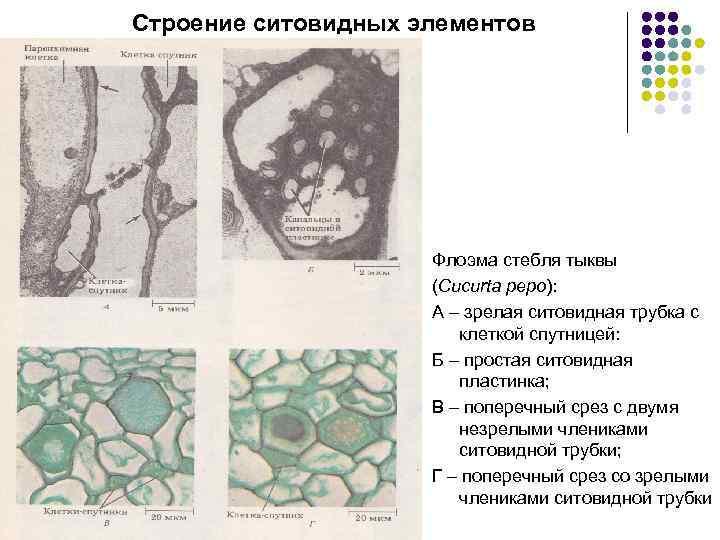 Строение ситовидных элементов Флоэма стебля тыквы (Cucurta pepo): А – зрелая ситовидная трубка с