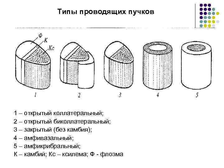 Типы проводящих пучков 1 – открытый коллатеральный; 2 – открытый биколлатеральный; 3 – закрытый