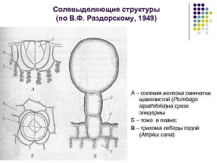 Солевыделяющие структуры (по В. Ф. Раздорскому, 1949) А – солевая железка свинчатки щавелистой (Plumbago