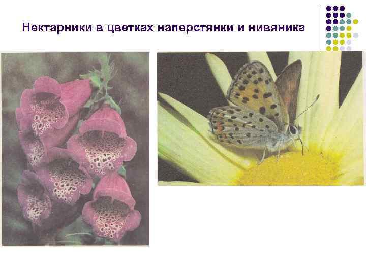 Нектарники в цветках наперстянки и нивяника