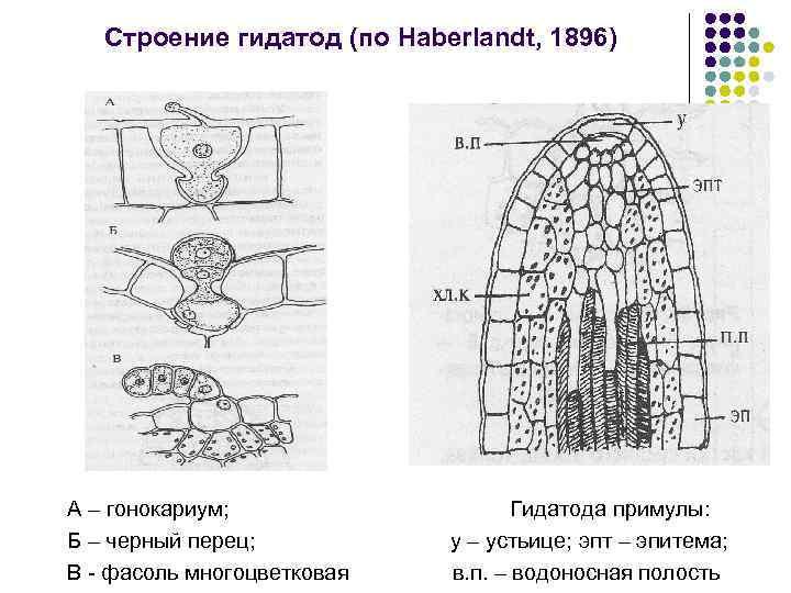 Строение гидатод (по Haberlandt, 1896) А – гонокариум; Б – черный перец; В -