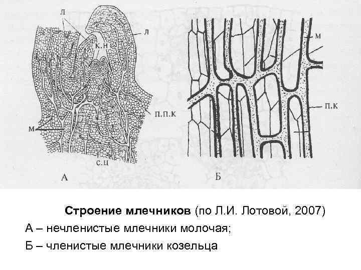 Cтроение млечников (по Л. И. Лотовой, 2007) А – нечленистые млечники молочая; Б –