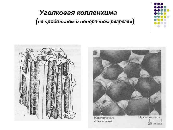 Уголковая колленхима (на продольном и поперечном разрезах)
