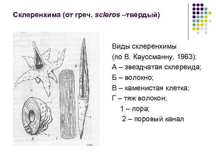 Склеренхима (от греч. scleros –твердый) Виды склеренхимы (по В. Кауссманну, 1963): А – звездчатая