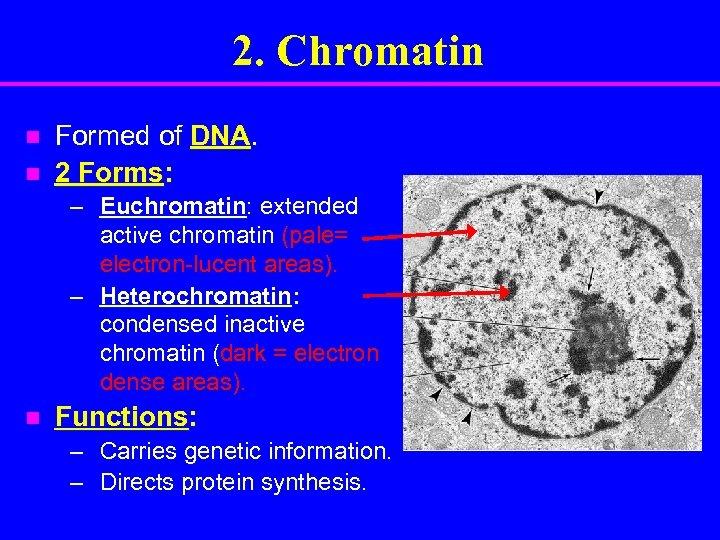 2. Chromatin n n Formed of DNA. 2 Forms: – Euchromatin: extended active chromatin