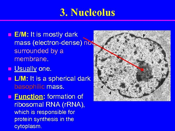 3. Nucleolus n n E/M: It is mostly dark mass (electron-dense) not surrounded by
