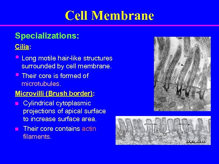 Cell Membrane Specializations: Cilia: § Long motile hair-like structures surrounded by cell membrane. §