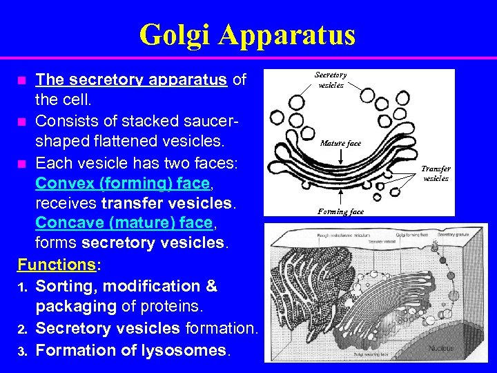 Golgi Apparatus The secretory apparatus of the cell. n Consists of stacked saucershaped flattened