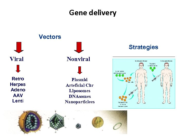 Gene delivery Vectors Strategies Viral Nonviral Retro Herpes Adeno AAV Lenti Plasmid Arteficial Chr