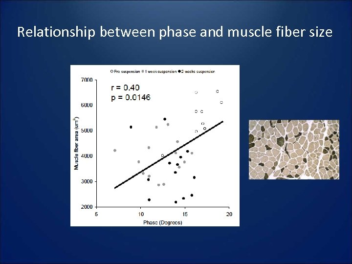 Relationship between phase and muscle fiber size