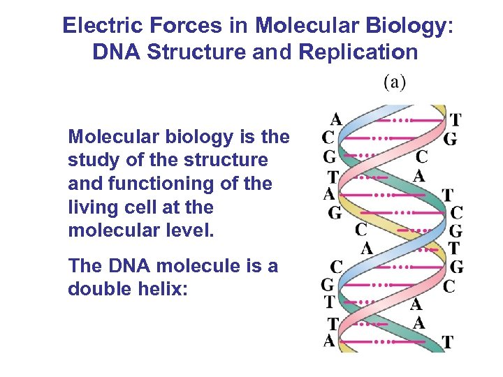 Electric Forces in Molecular Biology: DNA Structure and Replication Molecular biology is the