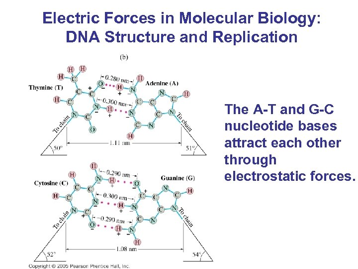 Electric Forces in Molecular Biology: DNA Structure and Replication The A-T and G-C nucleotide