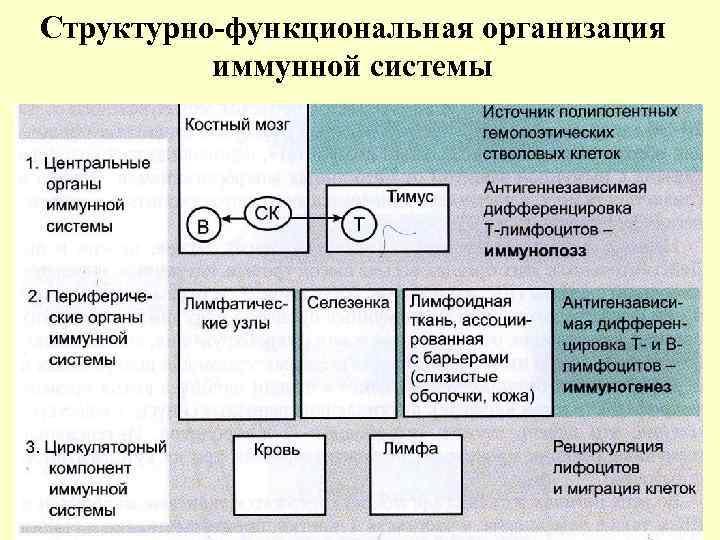 Структурно-функциональная организация иммунной системы
