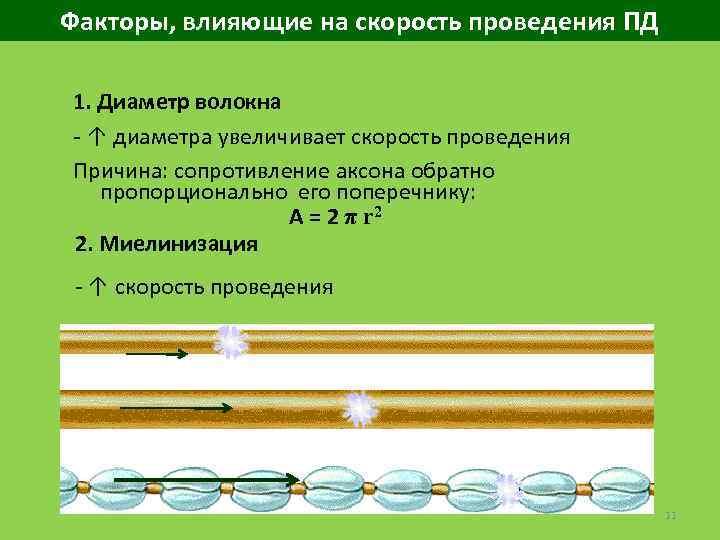 Факторы, влияющие на скорость проведения ПД 1. Диаметр волокна ↑ диаметра увеличивает скорость проведения