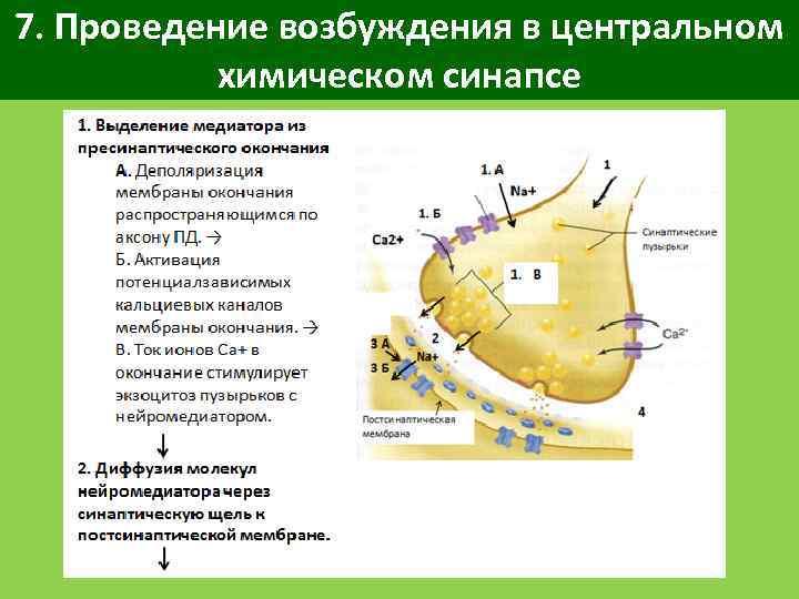 7. Проведение возбуждения в центральном химическом синапсе