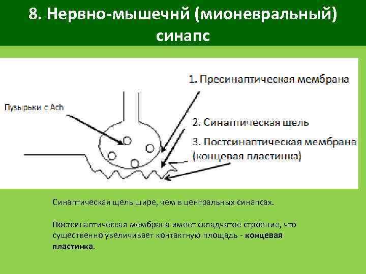 8. Нервно-мышечнй (мионевральный) синапс Синаптическая щель шире, чем в центральных синапсах. Постсинаптическая мембрана имеет
