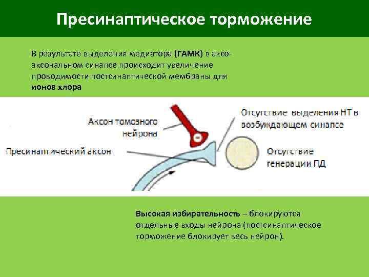 Пресинаптическое торможение В результате выделения медиатора (ГАМК) в аксональном синапсе происходит увеличение проводимости постсинаптической