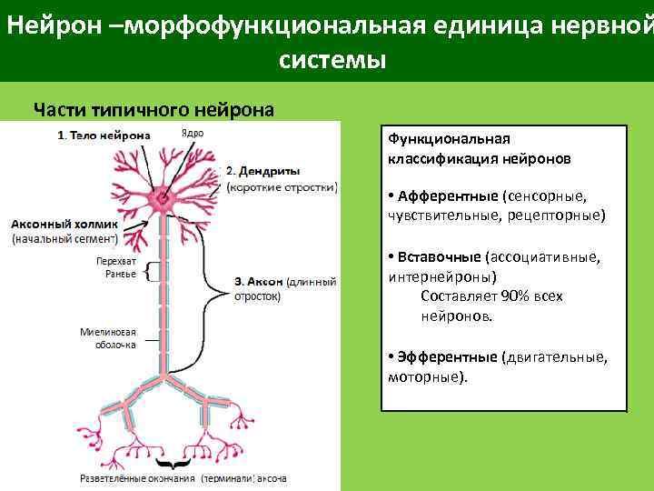 Нейрон –морфофункциональная единица нервной системы Части типичного нейрона Функциональная классификация нейронов • Афферентные (сенсорные,