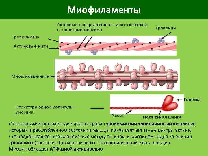 Миофиламенты С актиновыми филаментами ассоциирован тропомиозин-тропониновый комплекс, который в расслабленном состоянии мышцы покрывает активные