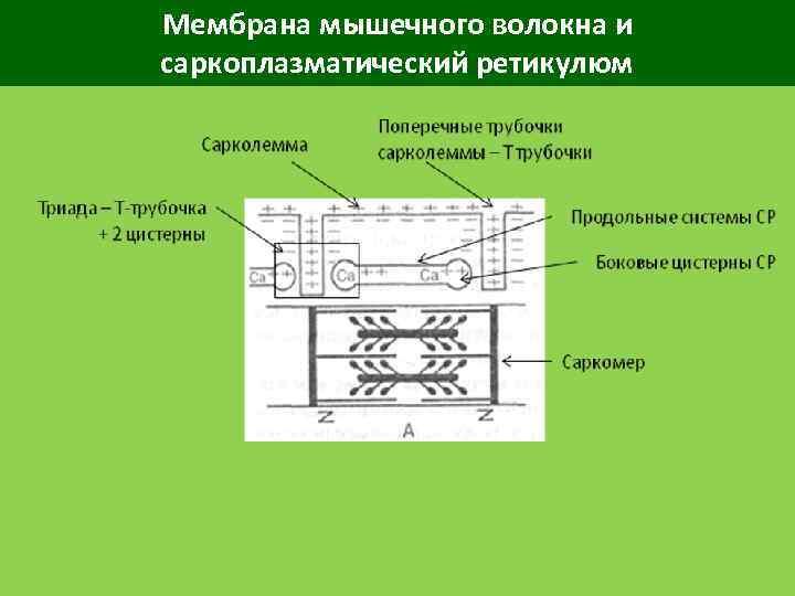 Мембрана мышечного волокна и саркоплазматический ретикулюм