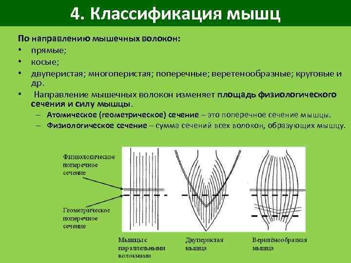 4. Классификация мышц По направлению мышечных волокон: • прямые; • косые; • двуперистая; многоперистая;