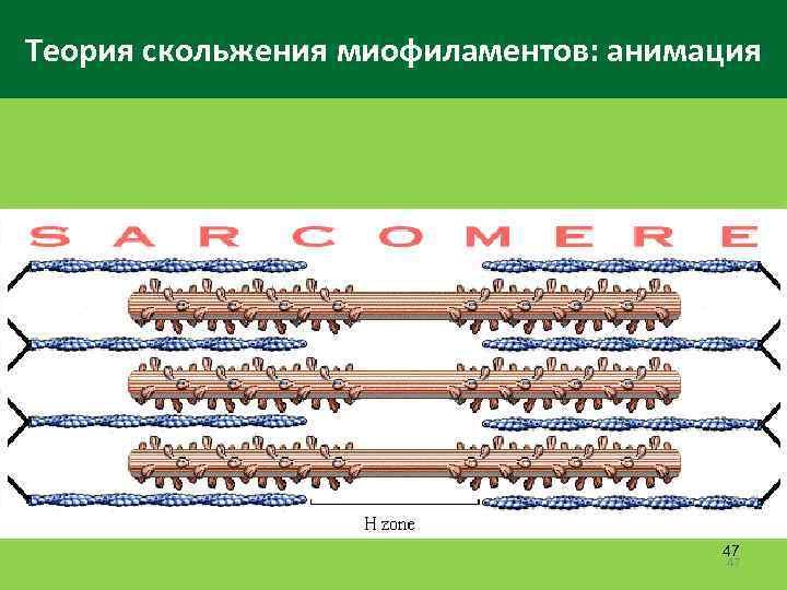Теория скольжения миофиламентов: анимация 47 47