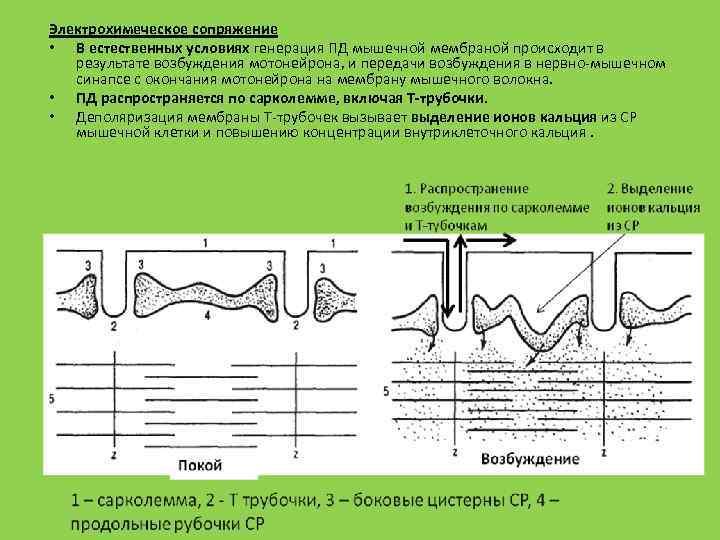 Электрохимеческое сопряжение • В естественных условиях генерация ПД мышечной мембраной происходит в результате возбуждения