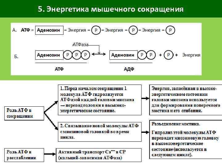 5. Энергетика мышечного сокращения