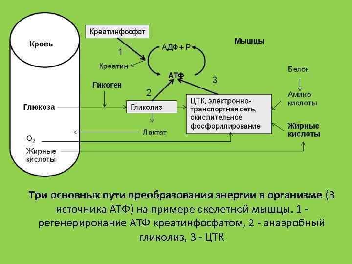 Три основных пути преобразования энергии в организме (3 источника АТФ) на примере скелетной мышцы.