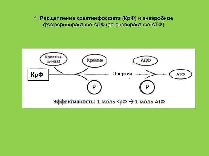1. Расщепление креатинфосфата (Кр. Ф) и анаэробное фосфорилирование АДФ (регенерирование АТФ)