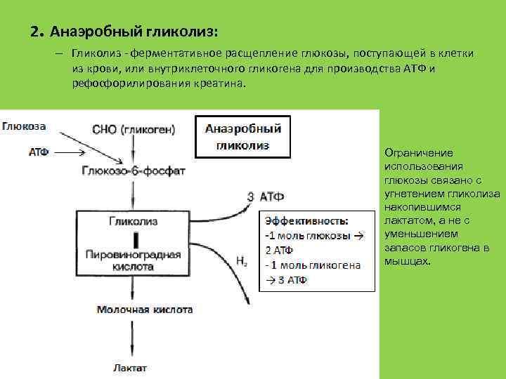 2. Анаэробный гликолиз: – Гликолиз ферментативное расщепление глюкозы, поступающей в клетки из крови, или