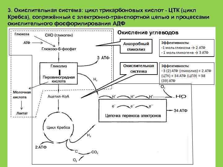 3. Окислительная система: цикл трикарбоновых кислот - ЦТК (цикл Кребса), сопряжённый с электронно-транспортной цепью