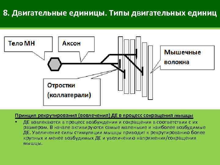 8. Двигательные единицы. Типы двигательных единиц Принцип рекрутирования (вовлечения) ДЕ в процесс сокращения мышцы
